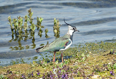 lapwing (garrymoors) Tags: lapwing uk bird blashford lakes