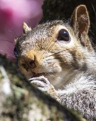 Grey squirrel in Longton Park