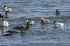 Haahka (TheSaOk) Tags: haahka lauttasaari helsinki finland bird birds birdlife linnut vesilinnut wildfowl ocean baltic sea spring sunny