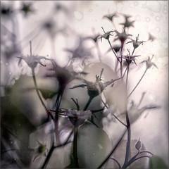 After flowering (Eva Haertel) Tags: eva haertel canon5dmarkiii natur nature floral baum tree detail leaves verblüht faded struktur structure silhouette textur entsätigt desaturated unschärfe blurr poetry