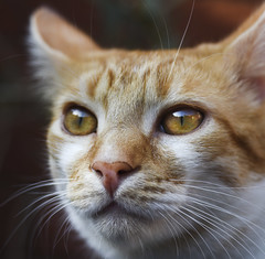 Jambo (RedPlanetClaire) Tags: cat cats feline cute pet furry jambo ginger white kitten kitty golden eyes