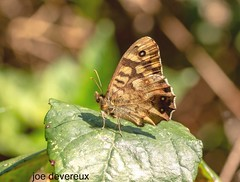 Speckled Wood (joemd69) Tags: insect wildlife nature animals speckledwood