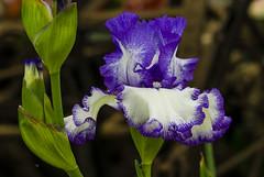Flowers (ost_jean) Tags: floraliabrussels flowers nikon d5300 tamron sp 90mm f28 di vc usd macro 11 f004n ostjean iris