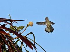 Costa's Hummingbird, female hovering (manzanita-pct) Tags: trochilidae
