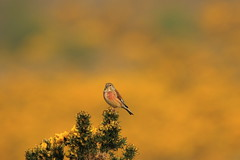 Common Linnet (jon lees) Tags: bird irishwildlife countydown newtownards northernireland lead mines whitespots
