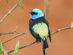 Fauna: Blue-necked tanager (Tangara cyanicollis) (yago1.com) Tags: fauna permatree birds nature conservation ecuador zamorachinchipe aves