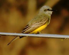 Kingbird (asterisktom) Tags: kingbird mexico2019aprilmarch mexico chiapas 2019 april bird vogel ave 鸟 птица 鳥 pajaro motozintla