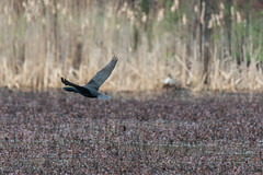 fanniestebbins2019-46 (gtxjimmy) Tags: nikond7500 nikon d7500 longmeadow massachusetts spring fanniestebbinswildlifesanctuary fanniestebbins bird cormorant doublecrestedcormorant