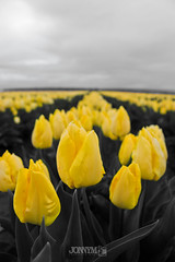 A splash of yellow (J0nnyM) Tags: tulip tulips flower flowers bloom blooms blooming inflorescence petal petals spring oregon america northwest yellow monocolor rows vanishingpoint horizon nature