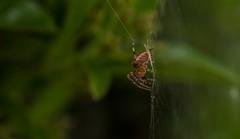 Araneus diadematus - juvenile (markhortonphotography) Tags: web pyracantha spider macro wildlife arachnid nature insect surreyheath firethorn surrey gardencrossspider gardenspider araneusdiadematus invertebrate