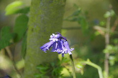 one among many (Sundornvic) Tags: bluebells woods trees forest plants nature blue light sun shine pentax k70 art pentaxart spring flowers blooms blossoms countryside shropshire england