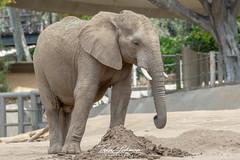 African Elephant (ToddLahman) Tags: africanelephant elephants escondido elephantvalley elephant beautiful outdoors mammal sandiegozoosafaripark safaripark photooftheday photography photographer nikond500 nikonphotography nikon