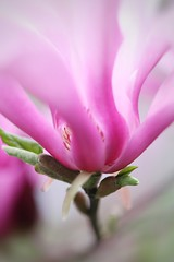 Dreamy Magnolia (JPShen) Tags: flower wavy closeup dreamy purple pink magnolia