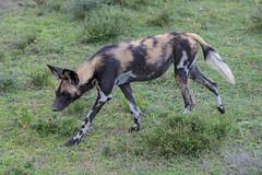 African Wild Dog (Mark Vukovich) Tags: african wild dog painted wolf canine mammal africa tanzania serengeti national park