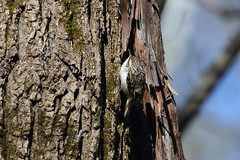 Brown Creeper (astro/nature guy) Tags: illinoisbird bird urbanabird buseywoodsbird buseywoods creeper browncreeper