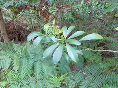 Anopterus glandulosus 1 (nbgact) Tags: australian national botanic gardens canberra act barry m ralley barrymralley dicotyledons