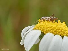 Insecte-03 1 (Toni Lluch) Tags: olympusomdem5ii mzuiko60mmmacro macro insect