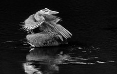 _DSC3597-Edit (doug.metcalfe1) Tags: 2016 aurora dougmetcalfe fall greatblueheron mckenziemarsh nature nokiidaatrail ontario outdoor summer bird