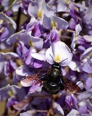 Abeille charpentière ou Xylocope (danielled61) Tags: bleu parfum abeille xylocope glycine mauve printemps jardin macro