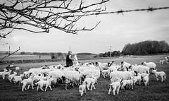 Stainton . (wayman2011) Tags: colinhart fujifilmxf23mmf2 fujifilmxe2s lightroom5 wayman2011 bwlandscapes mono rural farming sheep lambs pennines dales teesdale stainton countydurham uk
