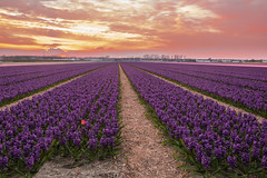 color match (BasHandels) Tags: sunset netherlands dutch lisse bloembollen bulbs bulbfield tulips amsterdam