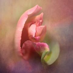 Danse florale (gisèlerichardet) Tags: texture textured rose tulipe pink fleur flower canon macro danse pétales
