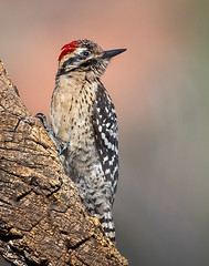 Ladder-backed Woodpecker (Eric Gofreed) Tags: arizona ladderbackedwoodpecker mybackyard sedona villageofoakcreek woodpecker yavapaicounty