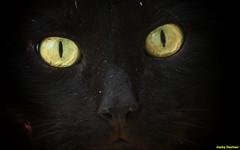 Un regard de minet (jacky.dartier) Tags: animal chat oeil regard