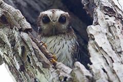 Bare-legged owl (Margarobyas lawrencii) - Holguín Province, Cuba - Feb 2019 (Dis da fi we) Tags: barelegged owl margarobyas lawrencii holguín province cuba bird forrest forest jungle tree green grey claw eye eyes beak