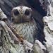 Bare-legged owl (Margarobyas lawrencii) - Holguín Province, Cuba - Feb 2019