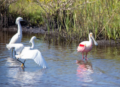 Outnumbered. (Chris Firth of Wakey.) Tags: roseatespoonbill snowyegret capecanaveral blackpointwildlifepark