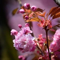 A spring dream in pink ... 🌸 (Martin Bärtges) Tags: frühjahr frühling spring outstanding outdoor outside drausen naturfotografie naturephotography natur nature nikonphotography nikonfotografie z6 nikon colorful farbenfroh blossoms blumen blüten pink rose flowers