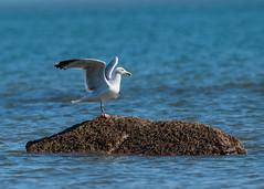 Gull (steverussell1906) Tags: birds seabirds seaside seascape nature wildlife ukwildlife
