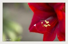 SHF_9423_Amaryllis (Tuan Râu) Tags: 1dmarkiii 14mm 100mm 135mm 1d 1dx 2470mm 2019 50mm 70200mm canon canon1d canoneos1dmarkiii canoneos1dx flowers amaryllis flora floral dof bokeh macro plant beautiful beauty color red blue yellow tuanrau tuan râu tuấnrâu2019 httpswwwfacebookcomrautuan71