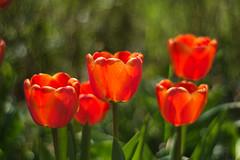 1904153089 Our garden in April: Tulips (Wolfgang_Kraus) Tags: supertakumar35mmf2 67mmfilterthread pentax loweraustria niederösterreich garden garten natur nature blüte flower spring frühling bokeh piplkan