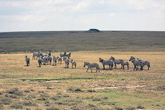 Plains zebras, Serengeti, Tanzania (inyathi) Tags: eastafrica tanzania africananimals africanwildlife plainszebras equusquagga equusquaggaboehmi serengeti africa