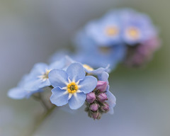 Spring pastels (Emma Varley) Tags: spring flower forgetmenot pale blue purple mauve pastel dreamy soft macromondays