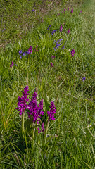Early Purple Orchid (Orchis mascula) (BiteYourBum.Com Photography) Tags: dawnandjim dawnjim biteyourbum biteyourbumcom copyright©2019biteyourbumcom copyright©biteyourbumcom allrightsreserved uk unitedkingdom gb greatbritain england canoneos7d canonefs60mmf28macrousm apple imac5k lightroom6 ipadair appleipadair camranger lrenfuse focusstacking manfrotto055cxpro3tripod manfrotto804rc2pantilthead loweproprorunner350aw sussex westsussex southdowns southdownsnationalpark horsebridgehill wisboroughgreen wisborough earlypurple orchid orchis mascula earlypurpleorchid orchismascula