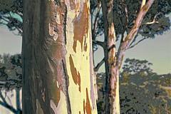 Gum Trees (maginoz1) Tags: flowers gumtree abstract art contemporary manipulate curves autumn april 2019 bulla melbourne victoria australia canon eos r