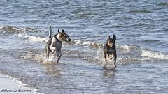 good morning sunshine (RCB4J) Tags: art ayrshire ayrshirecoast babygrace beach clydecoast dobermanterrier dogwalking dogwalkadventures dogwalkingphotography dogs firthofclyde folk gailes horse irvinebeach jakob mammal photography rcb4j riding ronniebarron scotland sea seascape sigma150500mmf563dgoshsm sonyilca77m2 sonyalpha spring sunshine trailhound running sand on1 on1pics