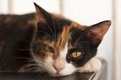 2019-365-112  #nikonpassion365 (bebopeloula) Tags: nikonpassion365 photorobertcrosnier 2019 365 faune iledelareunion nikond700 nushka animaux chat mammifères