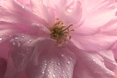 Pastel Mood ... (MargoLuc) Tags: macromondays theme pastel cherry blossom pink tones delicate droplets natural shadows backlight light macro