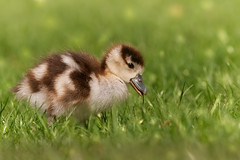 Grazing (FocusPocus Photography) Tags: nilgans egyptiangoose gans goose gänseküken gosling jung young wiese meadow gras grass vogel bird tier animal frühling spring