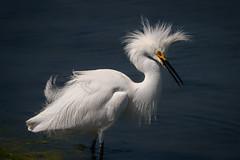 Snowy in a wind (bodro) Tags: bolsachica bird birdphotography ecologicalreserve featherdetails hairdo punk ruffledfeathers shallows snowyegret wetlands
