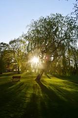Evening Spring Sunshine at Sutton Lawn (LMW76) Tags: sutton lawn ashfield park easter spring evening sun sunshine blue sky nottinghamshire landscape 2019 trees burst