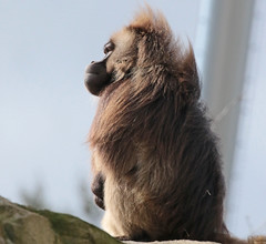 Gelada Blijdorp 094A0605 (j.a.kok) Tags: animal africa afrika aap blijdorp mammal monkey gelada baboon baviaan roodborstbaviaan zoogdier dier primate primaat