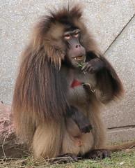 Gelada Blijdorp 094A0629 (j.a.kok) Tags: animal africa afrika aap blijdorp mammal monkey gelada baboon baviaan roodborstbaviaan zoogdier dier primate primaat
