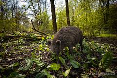 (Guillaume Raisonnable) Tags: leica fauna europa nederland natuur got flevoland lelystad natuurparklelystad m10 18mm zwijn carlzeiss
