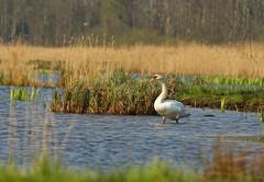 Zwaan (NLHank) Tags: nlhank 2019 canon eos 7d mkii eos7d2 7dii holland netherlands vogels birds zwaan swan ogel bird wildlife natuur nature wieden dewieden riet