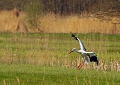 Ooievaar (NLHank) Tags: nlhank 2019 canon eos 7d mkii eos7d2 7dii holland netherlands vogels birds vogel bird wildlife natuur nature wieden dewieden riet ooievaar stork storch
